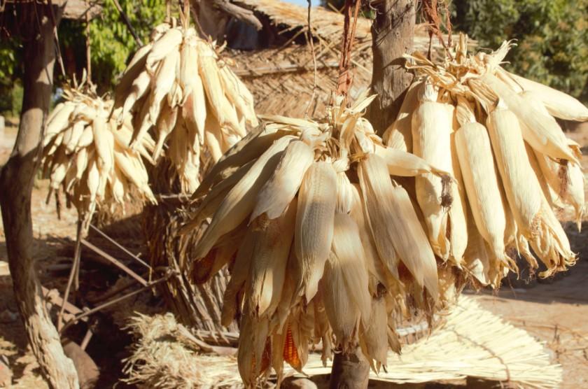 Corn Mali 1
