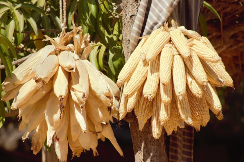 Corn Mali 5