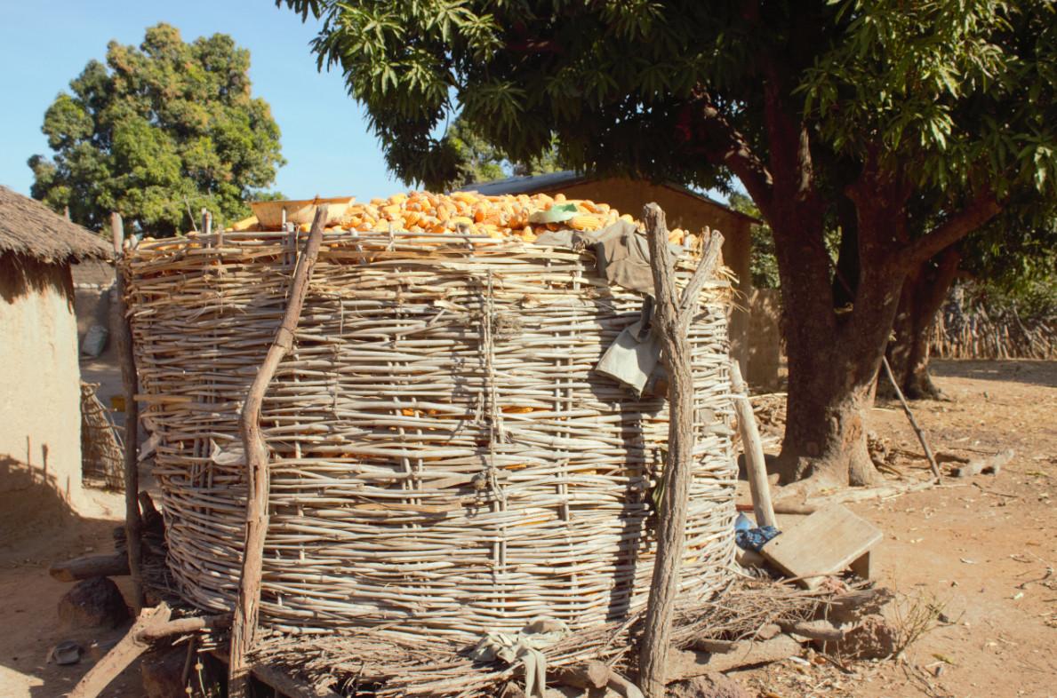 Corn –a Staple Food inMali