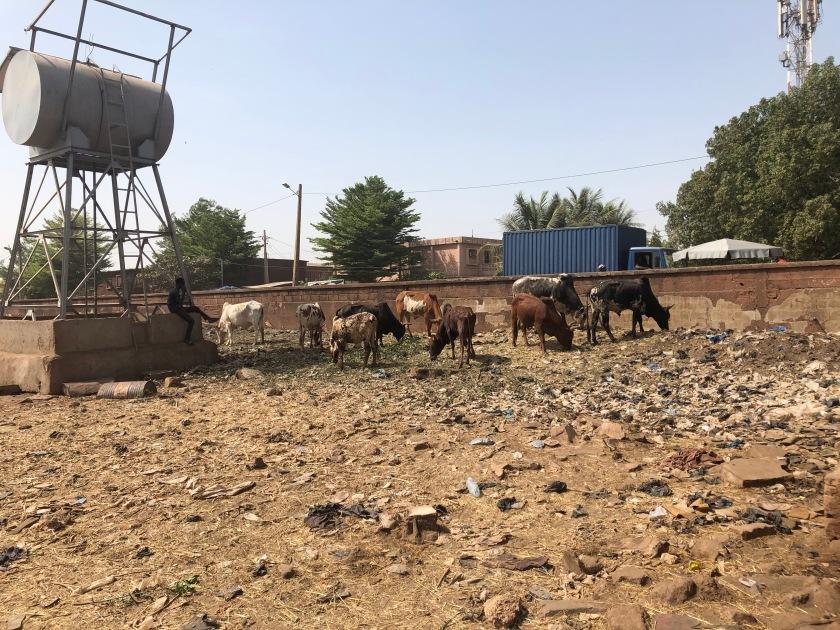 2020-2-16 Cattle Market (4)