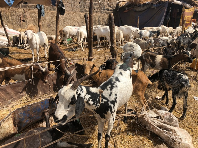 2020-2-16 Cattle Market (9)